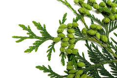 Twig of thuja with green cones on white background. Twig of thuja with green cones isolated on white background. Close-up view Stock Photo