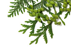 Twig of thuja with green cones on white background. Twig of thuja with green cones isolated on white background. Close up view Stock Photo