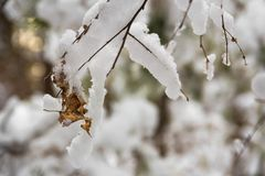 A twig of a tree in cold and snow-white snow. The first snow fell. All the bushes, trees and grass have become very beautiful and elegant stock image