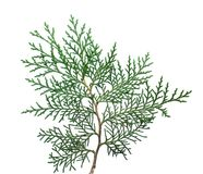 Twig tree Thuja. Stock Image