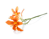 Twig with two flowers of lilies Stock Photography
