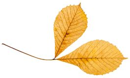 Twig with two yellow leaves of horse chestnut tree. Isolated on white background Stock Image