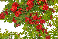 Twig of Viburnum. Bunches of red viburnum in the foliage stock image