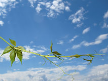 The twig of Virginia creeper on the sky background Stock Images