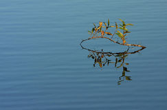 Twig in water. Leafy twig submerged in water Stock Images
