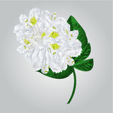 Twig white rhododendron  vector Stock Photo