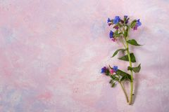 Twig of wild forested lungwort on colorful trendy painted pink-lilac textured background. One twig of wild forested lungwort is lying on colorful trendy painted Stock Photos