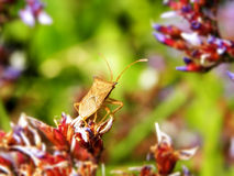 Twig wilter insect 1 Royalty Free Stock Images