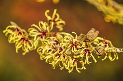 Flowers of a yellow witch-hazel. Twig of a witch hazel in January, with fruit pods and yellow flowers against a soft red background stock photo
