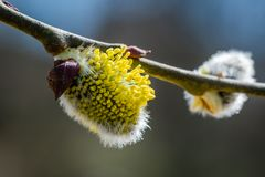 Twig with a yellow flower known as Goat Willow Salix caprea bl. Ooming. Beautiful macrophotography of nature in early spring Royalty Free Stock Photo