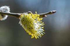 Twig with a yellow flower known as Goat Willow Salix caprea bl. Ooming. Beautiful macrophotography of nature in early spring Royalty Free Stock Image