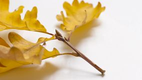 Twig with yellow leaves. On rotating white background, close-up stock video footage