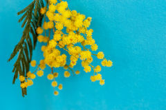 A twig of yellow mimosa on a blue background. Spring yellow Mimosas on a blue background Stock Photos