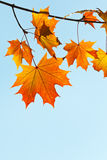 Twig with yellow and orange leaves Royalty Free Stock Images
