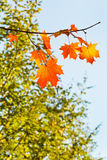 Twig with yellow and orange maple leaves Royalty Free Stock Photo
