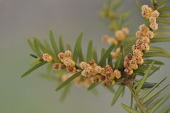 Twig of yew with male flowers. Taxus-baccata Stock Photography