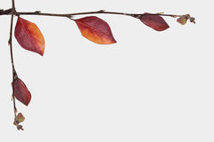 Twigg with autumn colored leafs over white backgro Royalty Free Stock Image