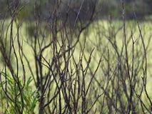 Twiggy leafless desert bush on the Uluru base walk trail, Northern Territory. Australia royalty free stock photo