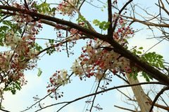 Twigs with beautiful pink flowers, sky background on bright days.  royalty free stock image