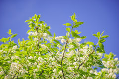 Twigs of bird-cherry tree against blue sky Royalty Free Stock Photos
