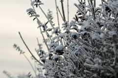 Snow on a privet hedge in winter royalty free stock images