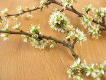 Twigs with blackthorn flowers Royalty Free Stock Photography