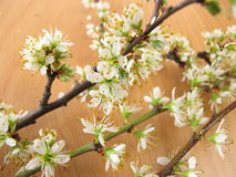 Twigs with blackthorn flowers Stock Photography