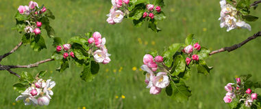 Twigs with the blossoms of a apple tree Royalty Free Stock Photography