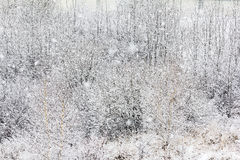 Twigs and branches covered with snow Stock Images