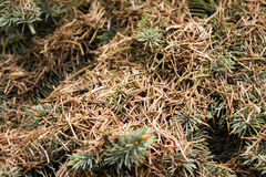 Twigs with brown dry needles Royalty Free Stock Images