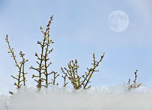 Twigs of a cherry tree and ice crystals royalty free stock images