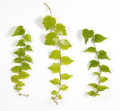 Twigs of a climbing plant
