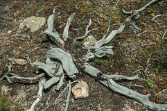 Twigs of colorless dead shrubs on highlands. Twigs and roots of dead shrubs, dry and colorless due to the strong sun on highlands at the Serra da Estrela. The stock photos