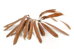 Twigs Containing Elongated Seed Pods Filled with Seeds Royalty Free Stock Photo