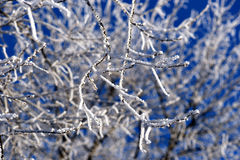 Twigs covered in snow Royalty Free Stock Image