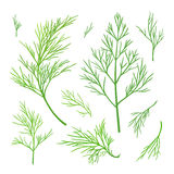 Twigs of dill Stock Photo