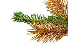 Twigs of fir- tree. Royalty Free Stock Photo
