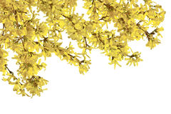 Twigs of forsythia with yellow flowers on a white background. Royalty Free Stock Images