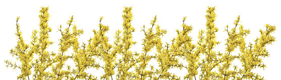 Twigs of forsythia with yellow flowers on a white background. Royalty Free Stock Photo