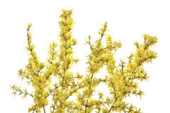 Twigs of forsythia with yellow flowers on a white background. Stock Photo