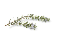 Twigs of fresh blooming rosemary Royalty Free Stock Photo