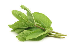 Twigs of fresh mint Royalty Free Stock Images