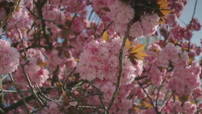 Twigs and Golden Leaves in Pink Cherry Blossom Tree. Medium low angle high dynamic range shallow depth of field panning shot of pink cherry blossom flowers on stock video