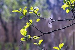 Twigs of hazel with fresh young green leaves in spring. Leaves are highlighted by the sun. Blurred background, selective focus Royalty Free Stock Image