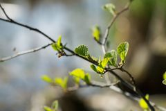 Twigs of hazel with fresh young green leaves in spring. Leaves are highlighted by the sun. Blurred background, selective focus Stock Photos
