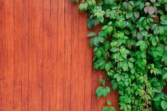 Twigs of ivy on a wooden fence stock image