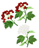 Twigs-leaves-berries-and-white-flowers Stock Photos