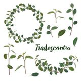 Twigs and leaves of the tradiscation in a wreath and a garland on a white background. Vector. royalty free illustration