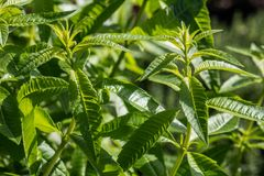 Twigs of lemon verbena for aromatic gardens, sunny daylight. Closeup of bush of lemon verbena plant or Aloysia citrodora bush in aromatic gardens in natural Stock Photos