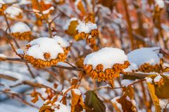 Twigs old brown withered plants in the snow winter landscape stock photography